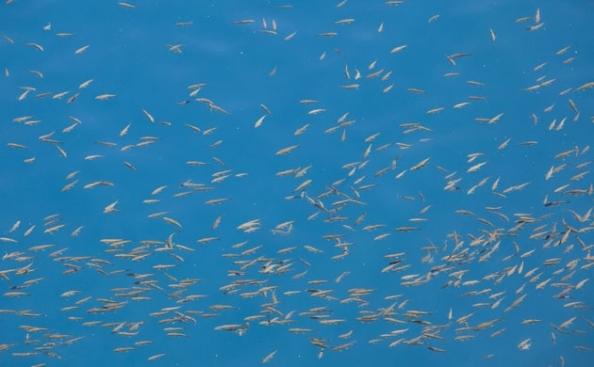 Peixes podem ser vistos na água clara do lago. Antes de se tornar parque nacional, Band-e-Amir foi prejudicado pela poluição e pela prática de pesca com o uso de granada. Foto de Paula Bronstein/Getty Images
