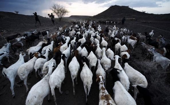 Carneiros e cabras voltam para o campo depois de um dia de pasto.