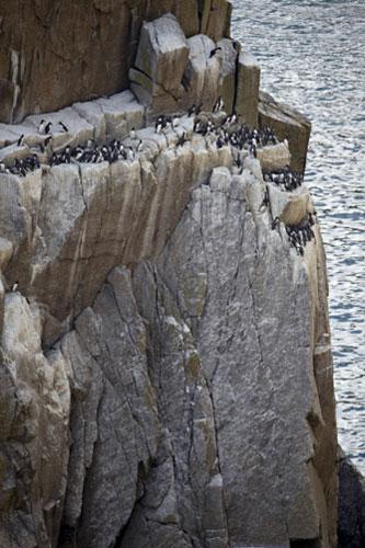 As falésias da Lundy são o lar de uma grande quantidade de aves marítimas do sudoeste da Inglaterra. Foto de Joe Cornish/NTPL