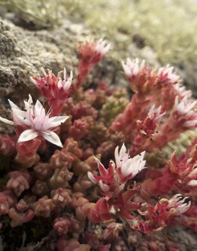 Em Lundy também são encontradas plantas e flores raras. Foto de Joe Cornish/NTPL