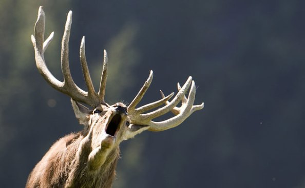 Veado no parque selvagem de Aurach, na Áustria. Foto de Kerstin Joensson∕AP