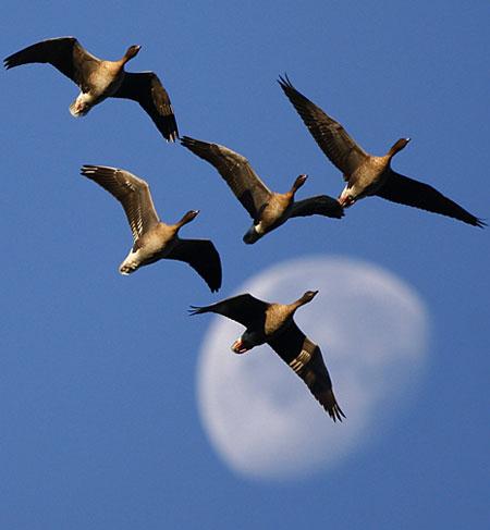 Pombos no céu, antes de pousar na reserva natural da Fazenda Vane, em Fife, na Escócia. Cerca de 20 mil dessas aves seguem para a reserva a cada ano, alguns para se alimentar e outros para ficar, uma vez que durante o inverno eles costumam migrar da Islãndia para o sul. Foto de David Moir∕Reuters