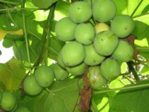 Empresa estuda usar os biocombustíveis de segunda geração, como a jatropha curcas, conhecida como pinhão-manso